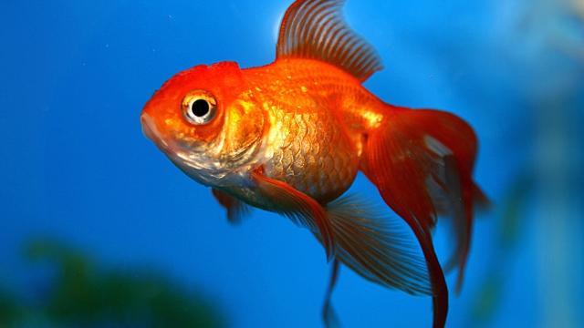 Son poisson rouge avale un caillou elle paye 330 euros for Achat poisson rouge lyon