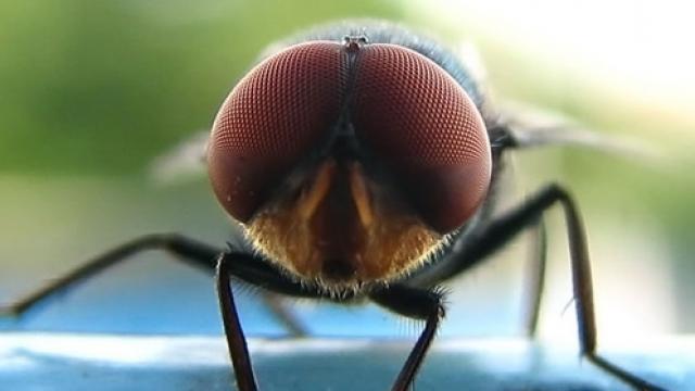 Invasion de mouches dans un village de l 39 ain radio scoop - Invasion de mouches pourquoi ...